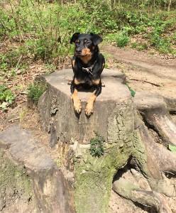 Mops Monty im Wald